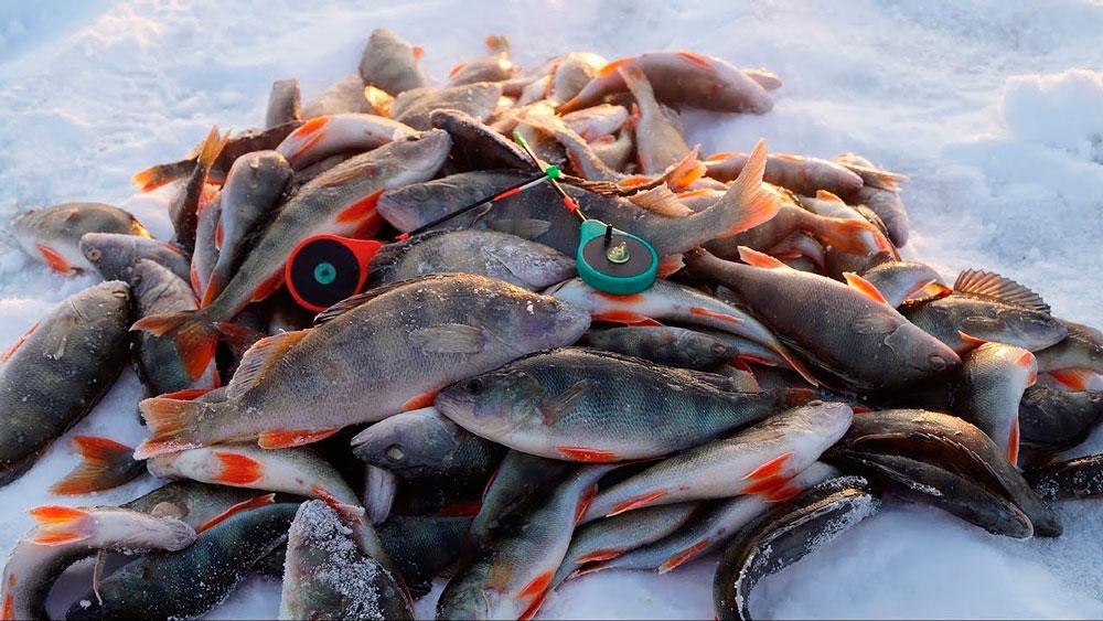 Зимняя рыбалка на Припяти окунь